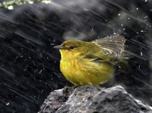 Bird in Rain Wallpaper__yvt2