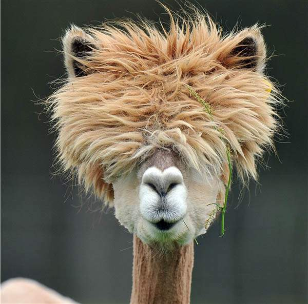 funny-alpacas-with-awesome-amazing-hilarious-hair-15