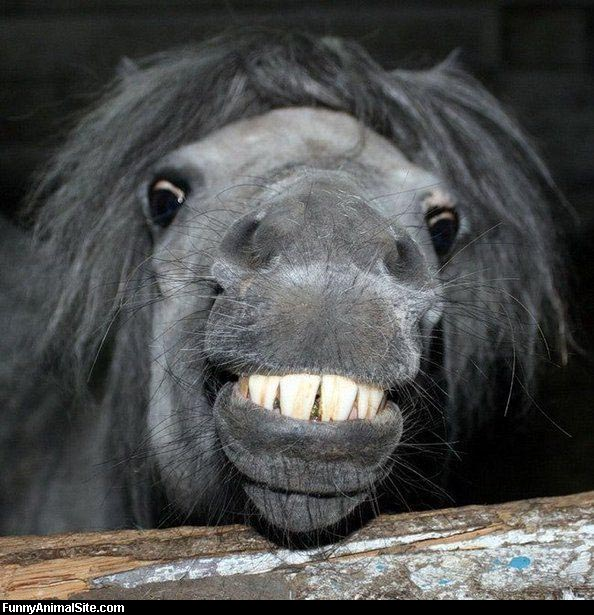 funny-laughing-horse-picture